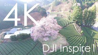 4K空撮 / 牛代のみずめ桜