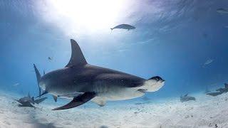 Video Diving with Great Hammerhead Sharks in Bahamas MP3, 3GP, MP4, WEBM, AVI, FLV Juni 2018