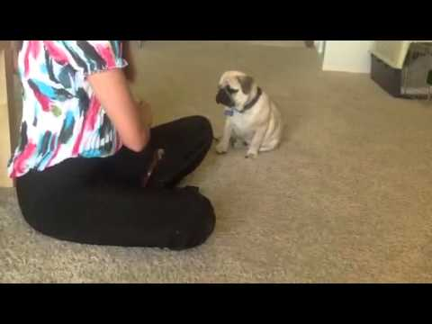Cute 4-month-old Pug Puppy Performs Tricks