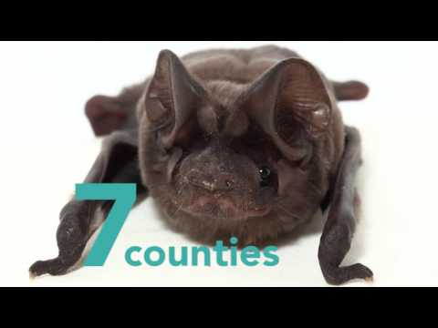 Baby Florida Bonneted Bat - bat facts!