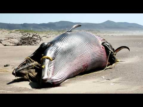 Exploding whales – sinking a fishy fossil theory