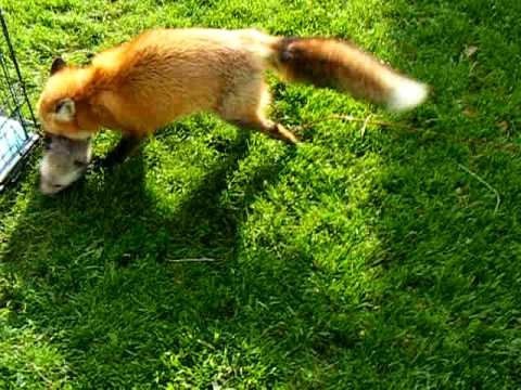 foxy anya