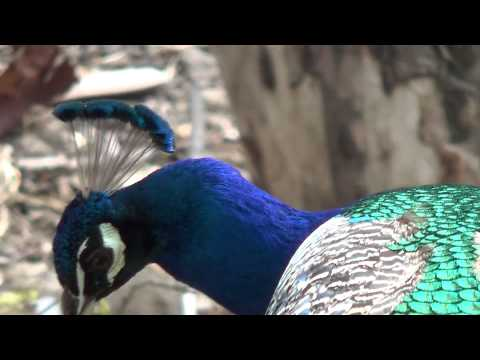 Павлин райская птица фото