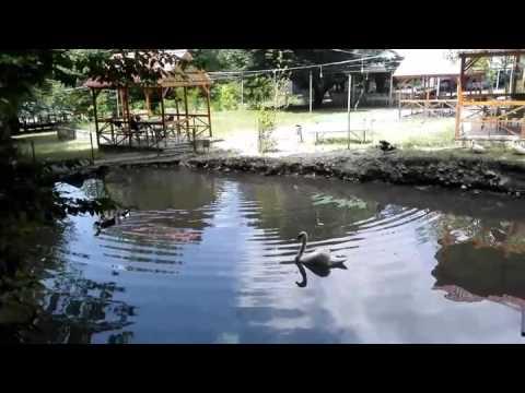 Природа Лебедь Утки