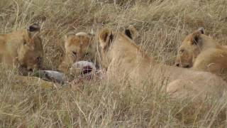 A group of lions devour their lunch carcass on the Masai Mara, Kenya, Africa. A cub comes to join them and settles, after a few grumpy squabbles and snarls.