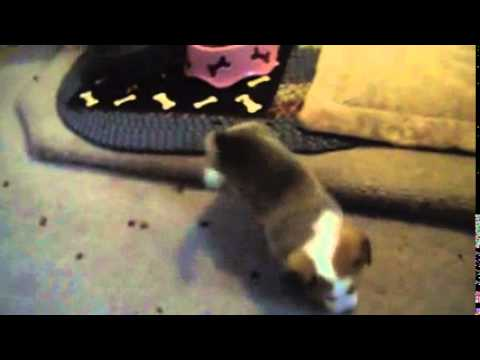 Must watch video of a female Corgi puppy playing