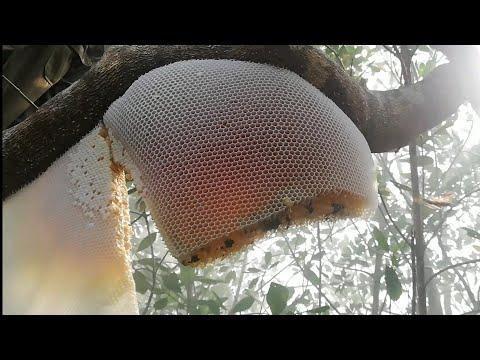 Honey Hunting from Sundarban/ সুন্দরবনের মধু কিভাবে সংগ্রহ করা হয়। কল 01617814603