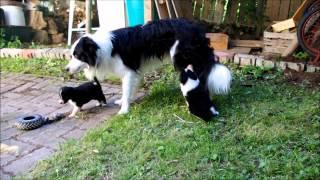 Cachorros BC jugando con mama