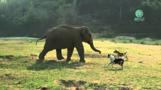 Baby elephant join in with the dogs