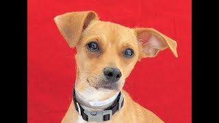 A5090071 Hash is a friendly 5-year-old gold-with-white male Chihuahua and Dachshund mix (aka Chiweenie) who was surrendered to the Baldwin Park Animal Care Center by his owners on July 16th because they had no time for him. Weighing 10 lbs, Hash is good on leash, has a medium energy, is good with other small dogs (we don't know about big ones), and is initially timid but quick to warm up and start being your good friend. He likes treats and takes them gently, and he's a darling all-around fellow who'll make a mellow, gentle indoor pet and companion for any individual or family looking for Mr. Right.  For more information on this pet, contact volunteer UHA adoption coordinator Viri at 626-318-2038 or vfloera@gmail.com.United Hope for Animals is not a facility. To CHECK THE STATUS of this animal, contact the BALDWIN PARK SHELTER in person, by phone or on their website:Address: 4275 Elton St, Baldwin Park, CA 91706Phone: (626) 962-3577Website: http://1.usa.gov/1oB6G0pIf you end up adopting this animal, please give a shout out to #unitedhopeforanimals @UnitedHope on social media,  leave a comment here as a thank you to our Volunteers, or donate to UHA at http://unitedhope4animals/donate. Thank you for looking! Please SHARE this animal if you are unable to adopt. United Hope for Animals links:ADOPTABLE PETS: http://goo.gl/gY1ReUFACEBOOK: https://www.facebook.com/UnitedHopeTWITTER: https://twitter.com/UHope4AnimalsINSTAGRAM: http://instagram.com/unitedhopeforanimalsWEBSITE: http://unitedhope4animals.orgOur Mission:United Hope for Animals is dedicated to reducing homelessness among companion animals through spay/neuter, shelter support, photography, video and networking of shelter animals in Southern California. It is an all-volunteer, non-profit organization working to end homelessness among companion animals by supporting shelter adoptions and spay/neuter programs. Through our Shelter Support Program, our volunteers photograph and video shelter pets to increase their cha