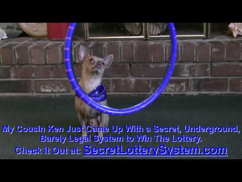 CUTE AND FUNNY CHIHUAHUA AMAZING JUMPING TRICKS!