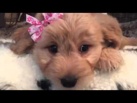 Social, loveable MINI Goldendoodle baby girl