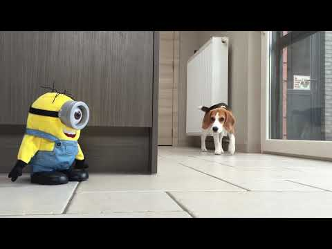 "funny beagles vs ""tumblin stuart"" the minion!"