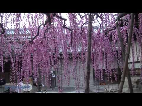 降り注ぐ花のシャワー 八木のしだれ梅