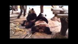 panda couple funny quotes  熊貓下午茶 パンダ昼食