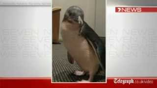 Penguin Australia  city photo : Drunk tourists steal penguin from Australian Sea World