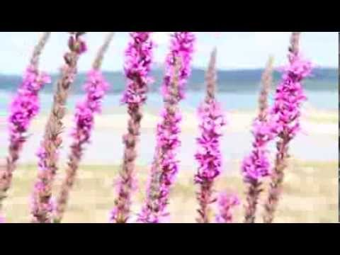 how to control purple loosestrife