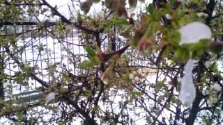 """Flowers in the snow UkraineCold SpringSharp cooling in Ukraine.//////////////////////////////////////////////////////////////////////////////////////////////////////////За городом . Растения под снегом. Весна 2017. Украина.21 апреля 2017Днепропетровская облПогода преподнесла """" сюрприз"""" на цветущие растения.///////////////////////////////////////////////////////////////////////////////////////////////////////Из-за вторжения в Украину арктического воздуха и установления холодной погоды большая часть цвета плодовых деревьев вымерзнет. Об этом предупреждает украинский Гидрометцентр.По прогнозам синоптиков, в период до 22 апреля сохранятся заморозки до -5°. В южных, восточных, большинстве центральных областей вероятен дождь с мокрым снегом, порывы ветра 15−20 м/с.Такая погода не способствует урожаю плодовых деревьев, которые как раз вступили в период цветения.По прогнозам синоптиков, погода должна улучшиться на следующей неделе. Пока же в ряде регионов отменяют занятия в школах и возобновляют подачу тепла в жилые дома и больницы. Из-за снегопадов задерживаются внутренние и международные авиарейсы.//////////////////////////////////////////////////////////////////////////////////////////////////////СМОТРИТЕ ЕЩЕ ВИДЕО :Снег ВЕСНОЙ.как ВСЕ начиналось.18.04.2017  https://www.youtube.com/watch?v=o4-YP-nFIRA//////////////////////////////////////////////////////////////////////////////////////////////////////Последствия снежной метели в Украине. Весна 2017. https://www.youtube.com/watch?v=fyBZw1EGDxI///////////////////////////////////////////////////////////////////////////////////////////////////. Днепродзержинск / Каменское . 70-е годы.История одного города... https://www.youtube.com/watch?v=Ujg6Ot7M708&t=172s////////////////////////////////////////////////////////////////////////////////////////////////// Воспоминания о лете. Цветы. Бабочки. https://www.youtube.com/watch?v=QKCR_j1nYtE/////////////////////////////////////////////////////////////////////////////////////////////"""