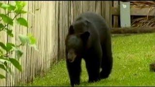 Video Brutal Bear Attack in Florida MP3, 3GP, MP4, WEBM, AVI, FLV Mei 2017
