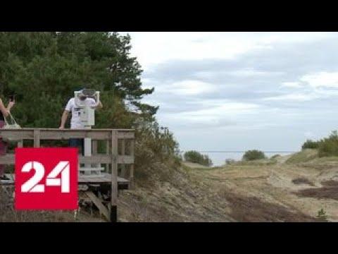Национальный парк Куршская коса наводнили нелегальные экскурсоводы - Россия 24 (видео)