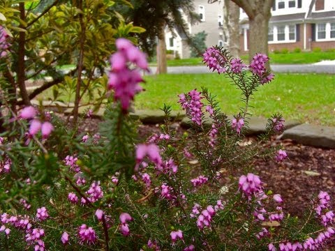 How to grow Heather – Gardening 101 by Dr. Greenthumb