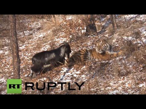 สวนสัตว์ซีเรีย ตั้งใจส่งแพะไปเป็นอาหารเสือ กลายเป็นเพื่อนกันซะงั้น
