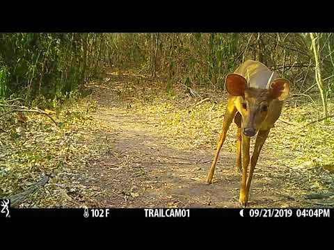 Brown brocket deer (Mazama americana)