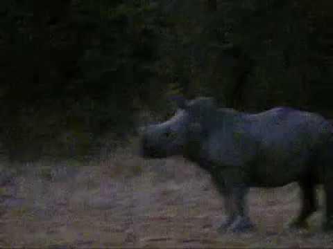 EcoTraining Video Rhino Vs Lions at Selati (видео)