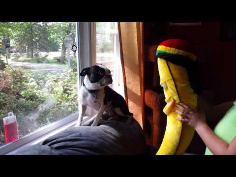 funny boston terrier afraid of stuffed animal