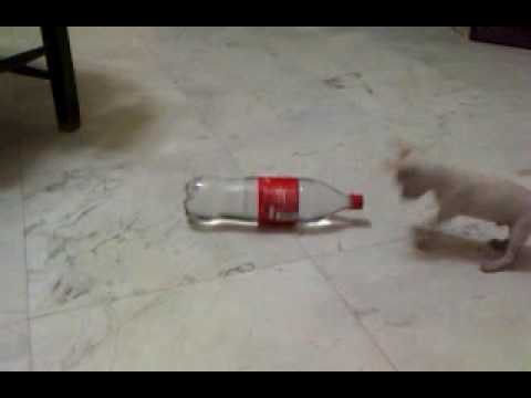 deer head chihuahua vs bottle