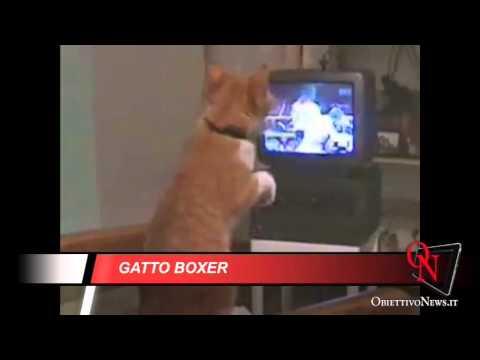 guardate come questo gatto imita un pugile!