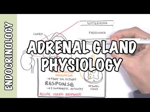 Endocrinology - Adrenal Gland Hormones