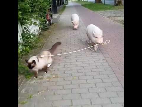 Nämä possut vievät kissan kävelylle – Hauska näky kadulla