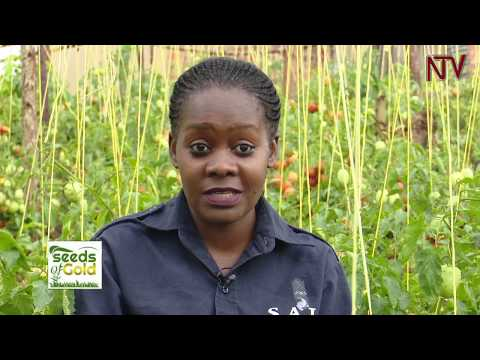 SEEDS OF GOLD: How to make millions from tomato farming