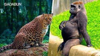 Video Así lucen estos 15 animales antes de dar a luz MP3, 3GP, MP4, WEBM, AVI, FLV Mei 2018