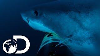 Video Deep Blue Hunts For Elephant Seals   Jaws Strikes Back MP3, 3GP, MP4, WEBM, AVI, FLV Agustus 2019