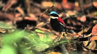Video borneo birds MP3, 3GP, MP4, WEBM, AVI, FLV Agustus 2019