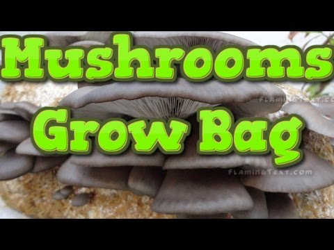 Oyster Mushrooms Growing Bag