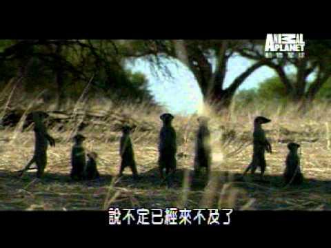 台語版的動物星球好有霸氣!!