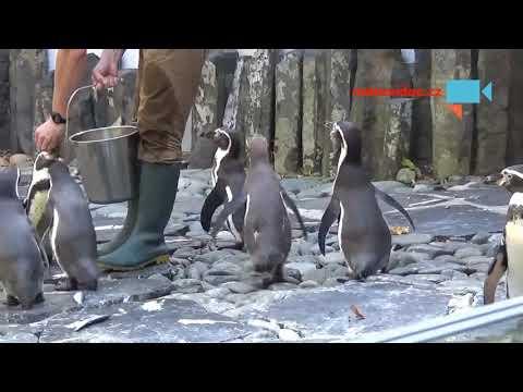 Krmení tučňáků