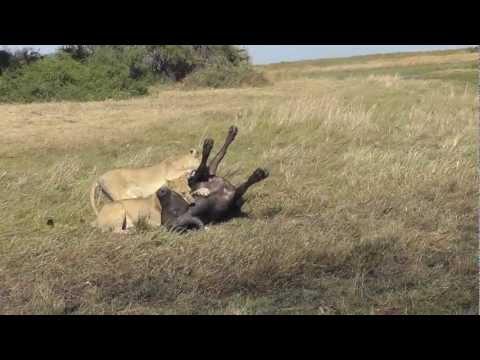 Lion Kill!  Kills 2 and 3 of triple kill Duba Plains