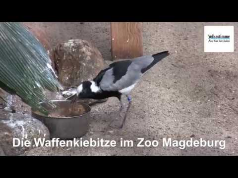 Magdeburg: Die Waffenkiebitze im Zoo Magdeburg