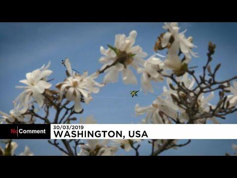 Ουάσιγκτον: Υποδέχονται την άνοιξη με χαρταετούς