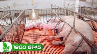 Chăn nuôi lợn | Làm sao cho lợn nái đẻ nhiều con?