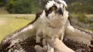 Recuperación y liberación de Aguila Pescadora de America del Norte