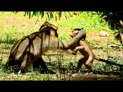 Adult monkey angry Brutus Jr until drag baby's tail, Baby is not a god, This feedback by angry also
