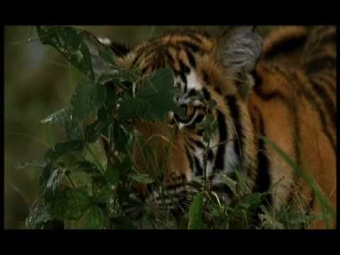 Tigers - This is part 1 of a 40 minute film on saving tigers by wildlife and conservation filmmaker, Shekar Dattatri. To see Part 2 and Part 3, go to www.youtube.com/...