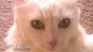 Turkish Angora cat female 猫 ♀ (Felidae) Gato angorá