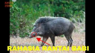 Rahasia Mustika Rantai Babi sehingga banyak dicari orang