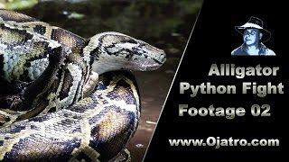 Small Alligator vs Big Python 02 Stock Footage